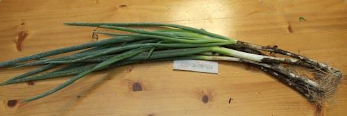 らでぃっしゅぼーやの泥つき長葱(無農薬)全体の長さはこのくらい